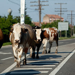 Cows on road, Romania