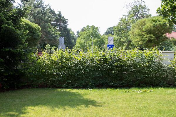 Živý plot z habrů 3 roky