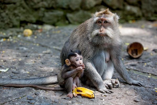 Opice Bali Monkey Forest Ubud
