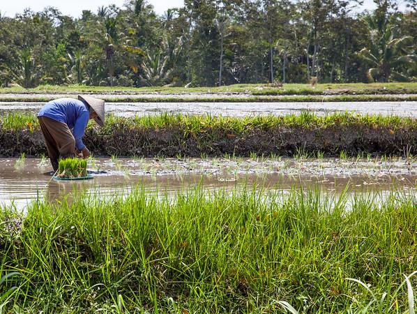 Rýžová pole Indonésie sázení rýže