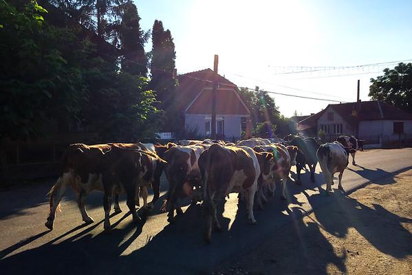 Krávy v Rumunsku