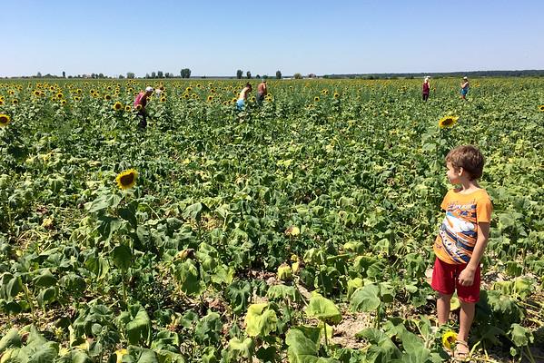 Dýňové pole slunečnic Rumunsko